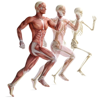 human anatomy running