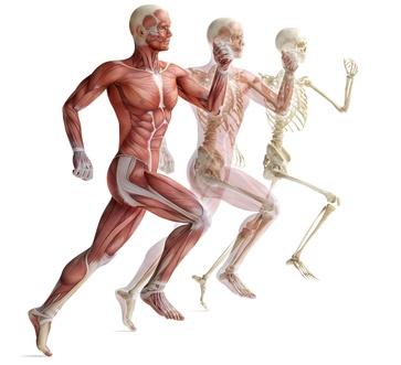 human anatomy running